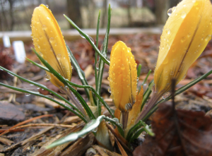 crocus in the rain