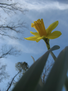 a daffodil at home