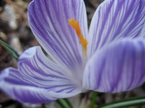 How fun is this crocus?