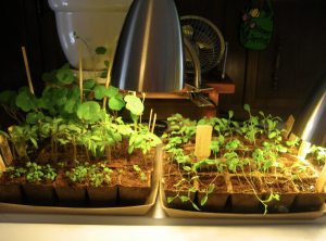 most of the seedlings (but not all)