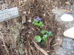 wildviolets