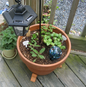 The potted herbs are coming along nicely: sage, basi, parsley, oregano