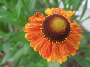 mardi gras helenium - I really need to cut a few of these to enjoy now that its taken off.