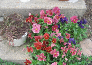 the pansies' last hurrah - they got replaced today