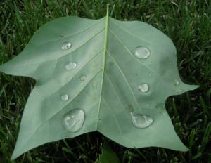 leaf avec rain