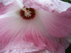 hibiscus? close-up