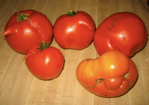 The tomatoes are mocking me.