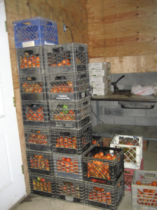 sooo tempting - their tomatoes ready to be delivered to various farmers' markets