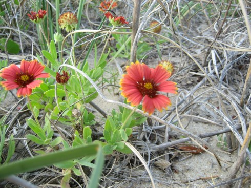 wild gaillardia on Hatteras Island from a previous beach trip