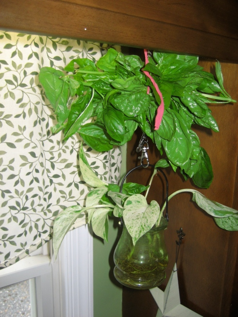 hanging basil to dry