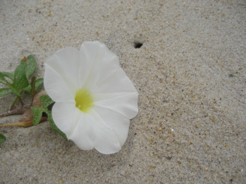 beach morning glory?