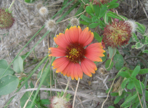 one of many wild gaillardias on Hatteras