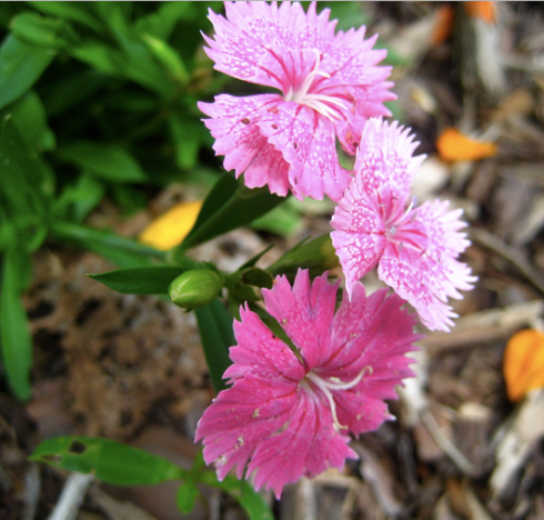 I've been trying to let my dianthus/bachelor's buttons reseed themselves for next year. I'm not usually a big pink flower fan, but I do hoe this one comes back next year. I love the painted look.