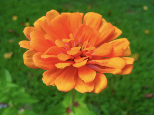 I love how this zinnia has a hint of purple with the orange