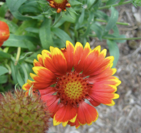 gaillardia in my garden this summer