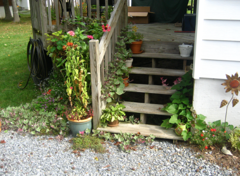deck garden - alternate view of the growing like crazy sweet potato vine before it was pulled