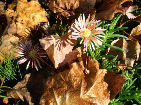 ice plant among the leaves