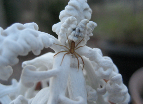 dusty miller and spider